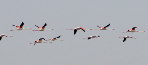 Flamants en vol