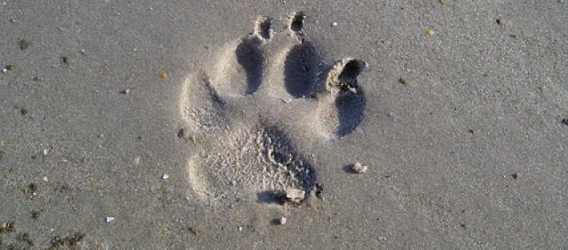 Empreinte de chien dans le sable