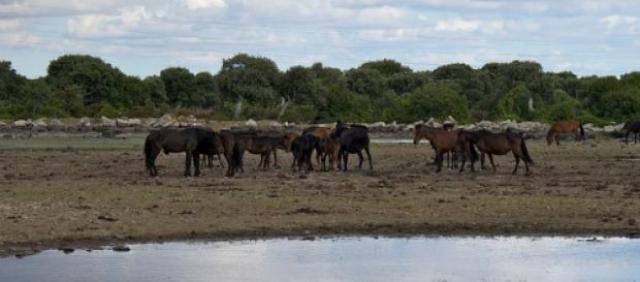 Petits chevaux de la Giara