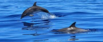 IMG Observer les dauphins en Sardaigne  - Excursions et conseils